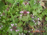 Red Dead Nettle