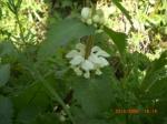 White Dead Nettle