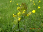 Yellow Rattle.jpg