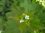 Garlic Mustard (Jack of the Hedge)