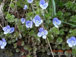 Green Field Speedwell
